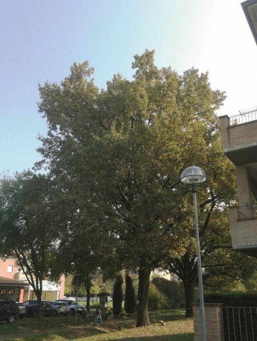 quercia-malata-soliera-news-mostardino